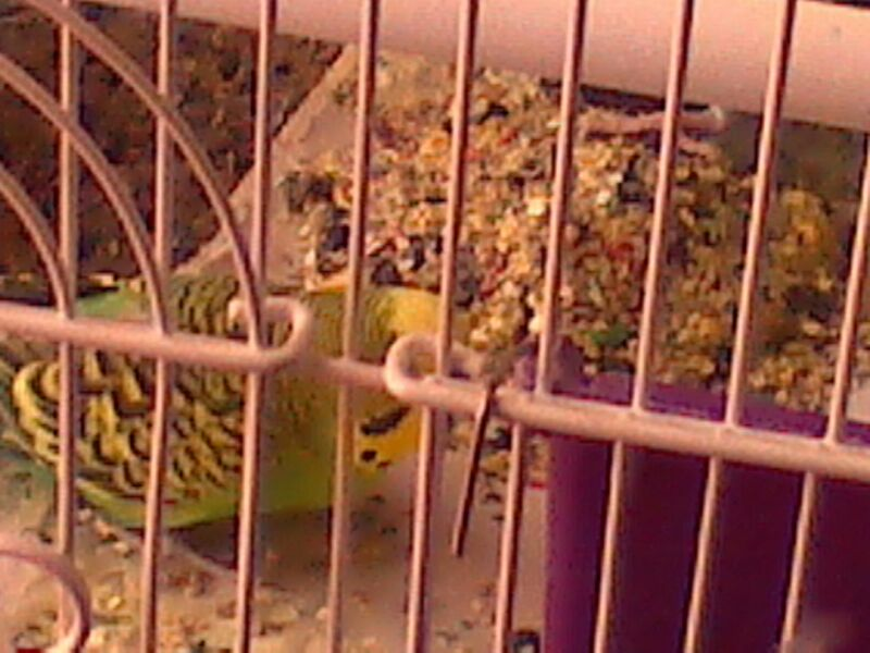 Pictures of my budgies!!-uploadfromtaptalk1365800870373.jpg