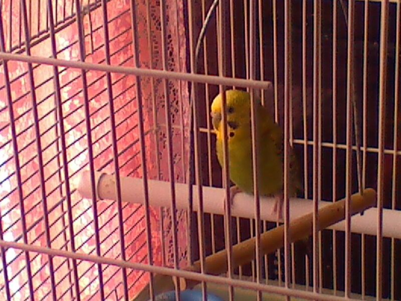 Pictures of my budgies!!-uploadfromtaptalk1365800881433.jpg