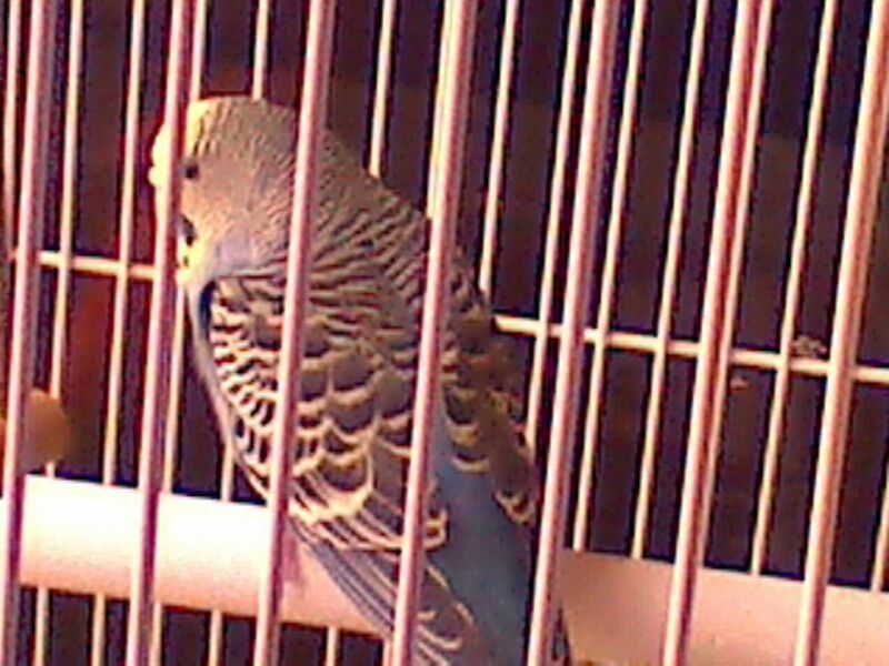 Pictures of my budgies!!-uploadfromtaptalk1365800890340.jpg