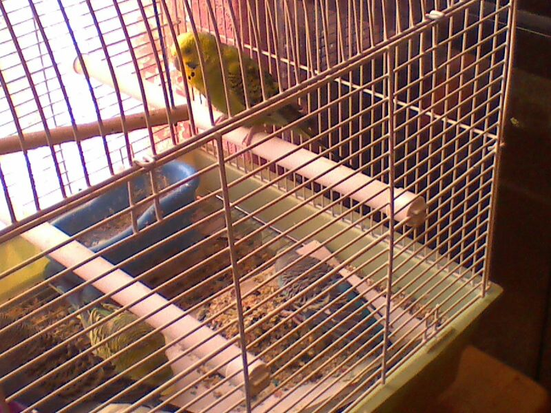 Pictures of my budgies!!-uploadfromtaptalk1365800898431.jpg