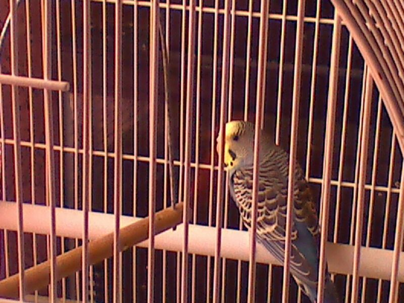 Pictures of my budgies!!-uploadfromtaptalk1365800907647.jpg