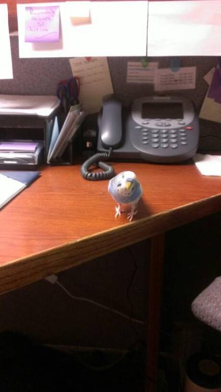 Receptionist Budgies.-uploadfromtaptalk1368933771383.jpg