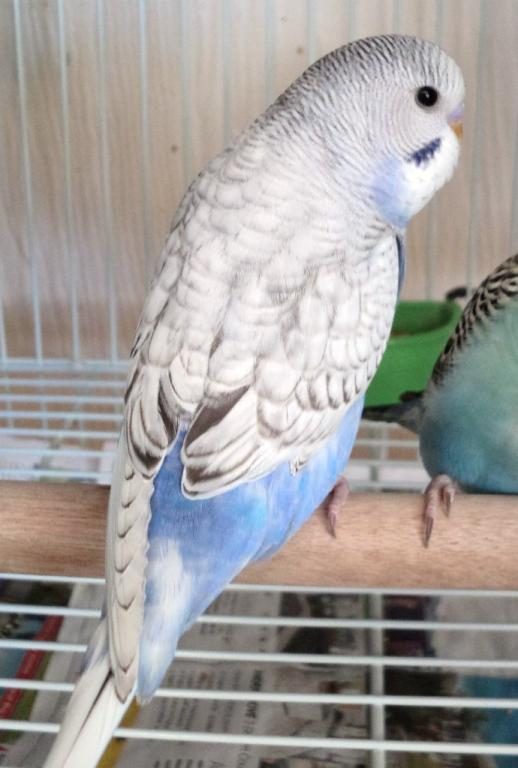What mutation is my Budgie?-violet-1.jpg