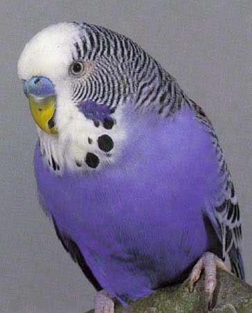 Violet budgie?-violet_budgie_from_internet.jpg