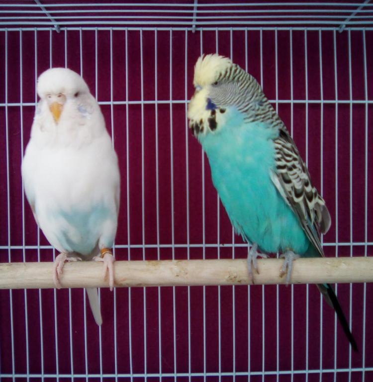 My first English budgie pair!-whatsapp-image-2017-04-14-1.05.09-pm.jpg
