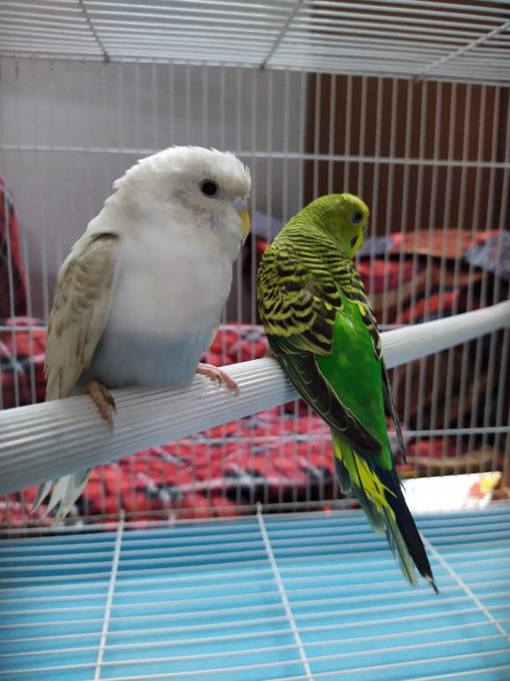 Got A New Budgie after 4 Years-whatsapp-image-2020-07-28-7.02.02-pm.jpg