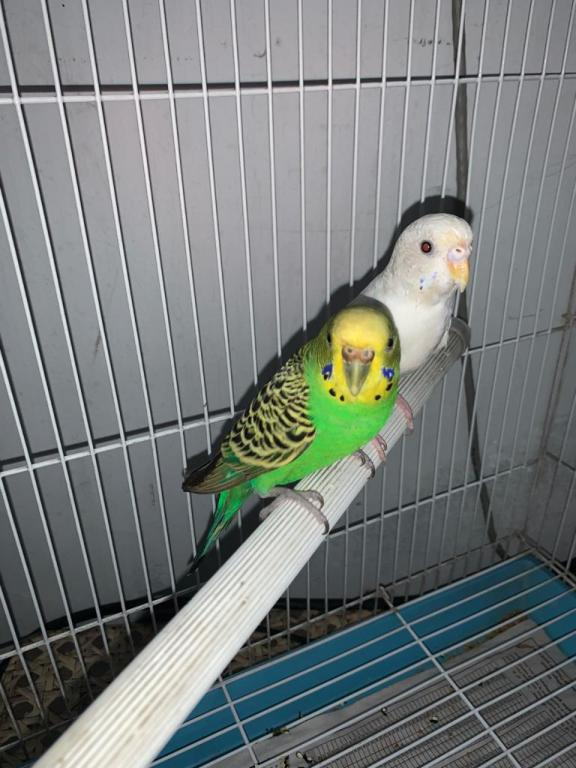Got A New Budgie after 4 Years-whatsapp-image-2020-08-09-9.57.34-pm-6-.jpg