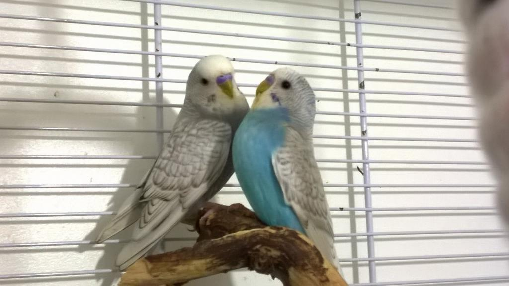The budgies today :)-wp_20140816_23_08_40_pro.jpg
