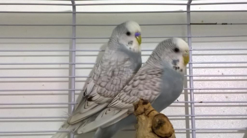 The budgies today :)-wp_20140816_23_13_33_pro.jpg