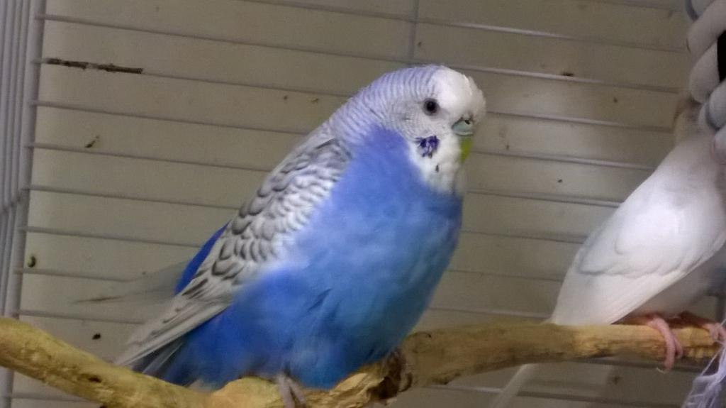The budgies today :)-wp_20140816_23_15_47_pro.jpg