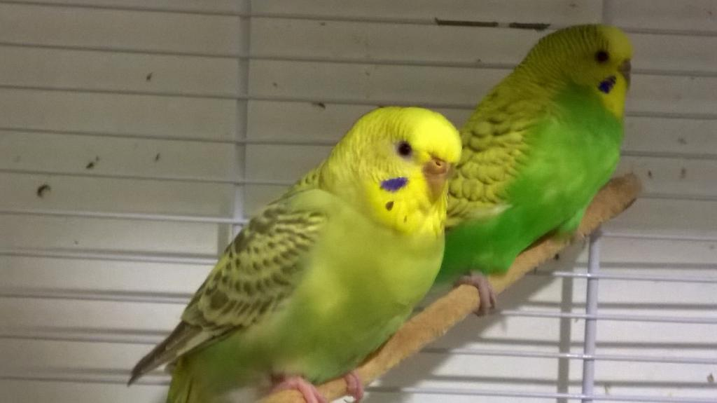 The budgies today :)-wp_20140816_23_16_54_pro.jpg