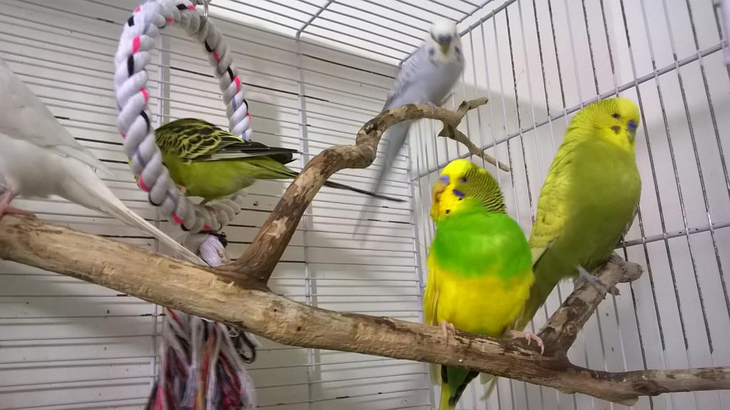 The budgies today :)-wp_20140816_23_18_00_pro.jpg