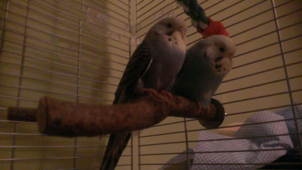 My Budgies-wp_20141227_001%5B1%5D.jpg
