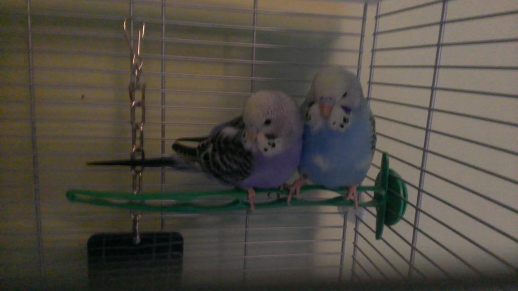 My Budgies-wp_20150122_008%5B1%5D.jpg