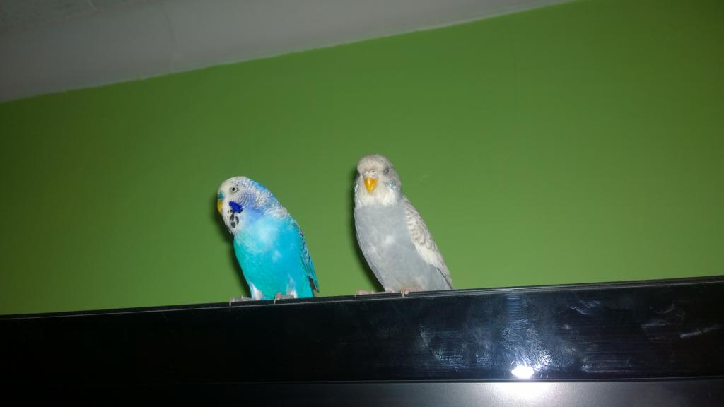 is my budgie a female?-wp_20151216_15_39_24_pro.jpg