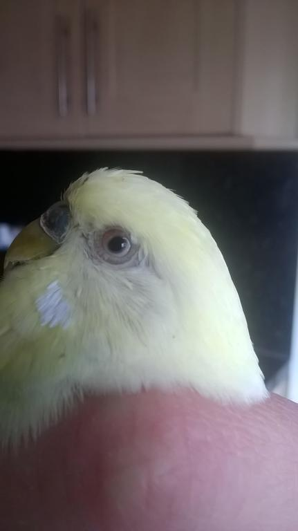 My budgie has a poorly eye?-wp_20160412_12_37_34_pro.jpg