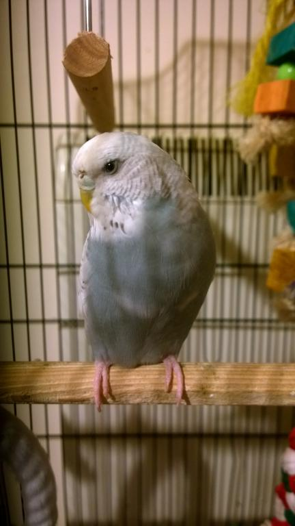 is my budgie a female?-wp_20180104_19_44_12_pro.jpg