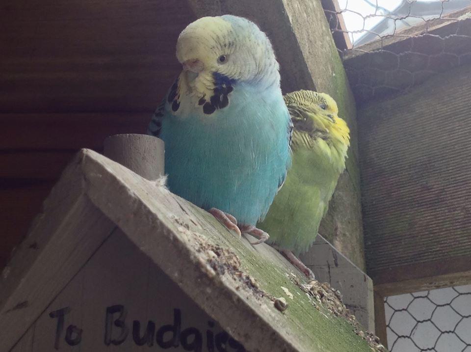 Newest Hatchlings-yellowface-opalline.jpg