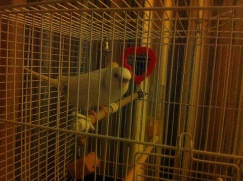 LOST Budgie, Three Crosses, Swansea, UK-yuki1.jpg