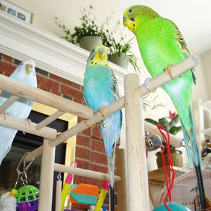 Budgie Kings and Queen