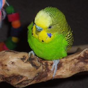 One serious looking budgie