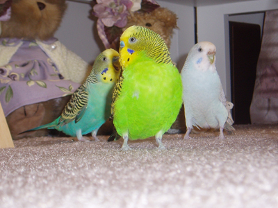 Attention!  Budgies March!