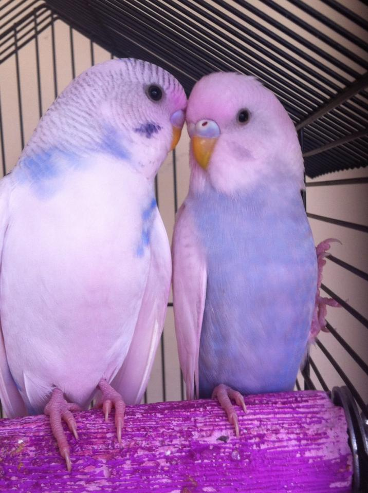 Baby Budgies all grown up !