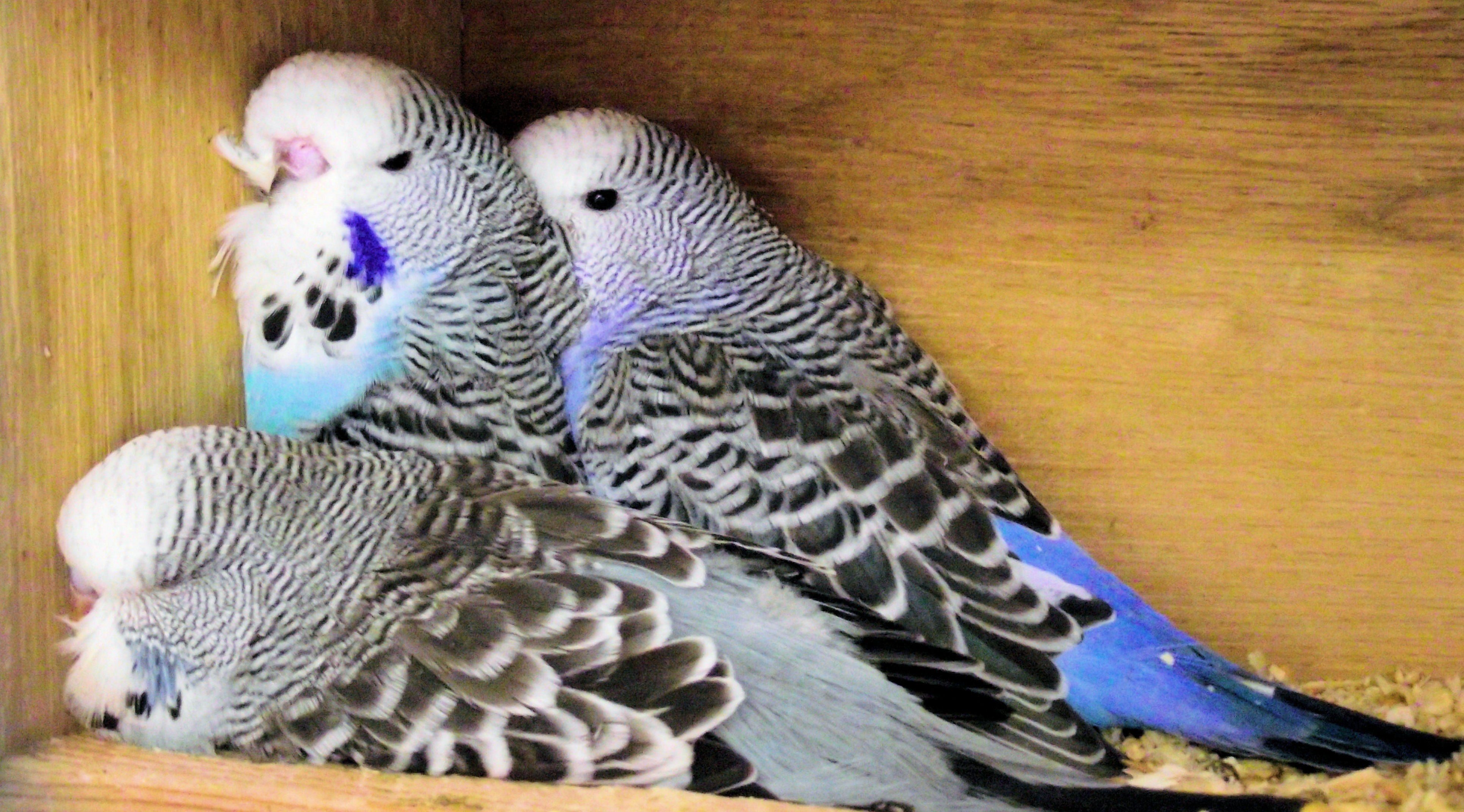 barrie's budgies
