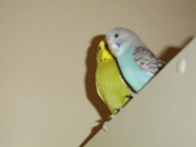 Budgie couple on top of the closet