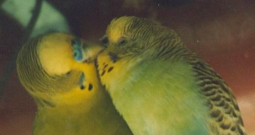 budgies kissing!