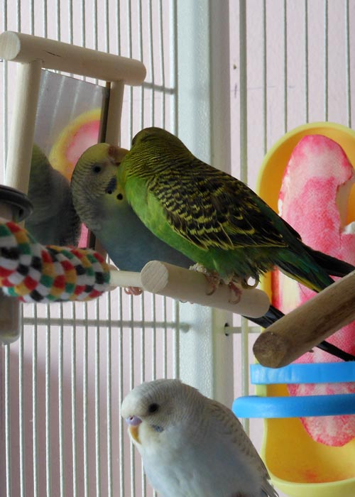 Cage - My Birdies Sharing a Kiss