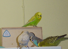 Curious budgies