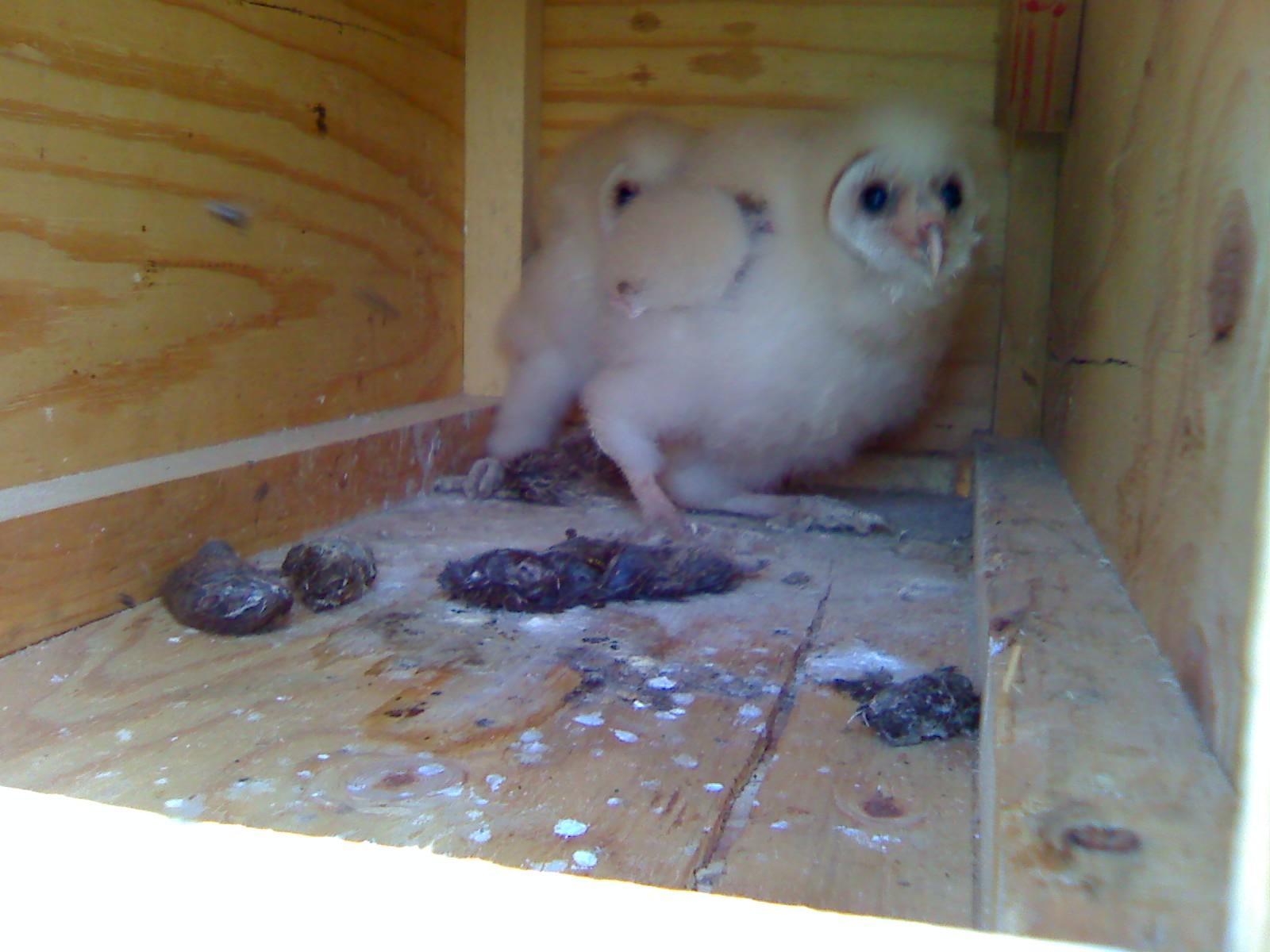 fed owls