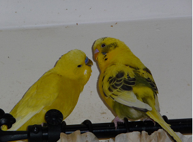 More of my beautiful budgies