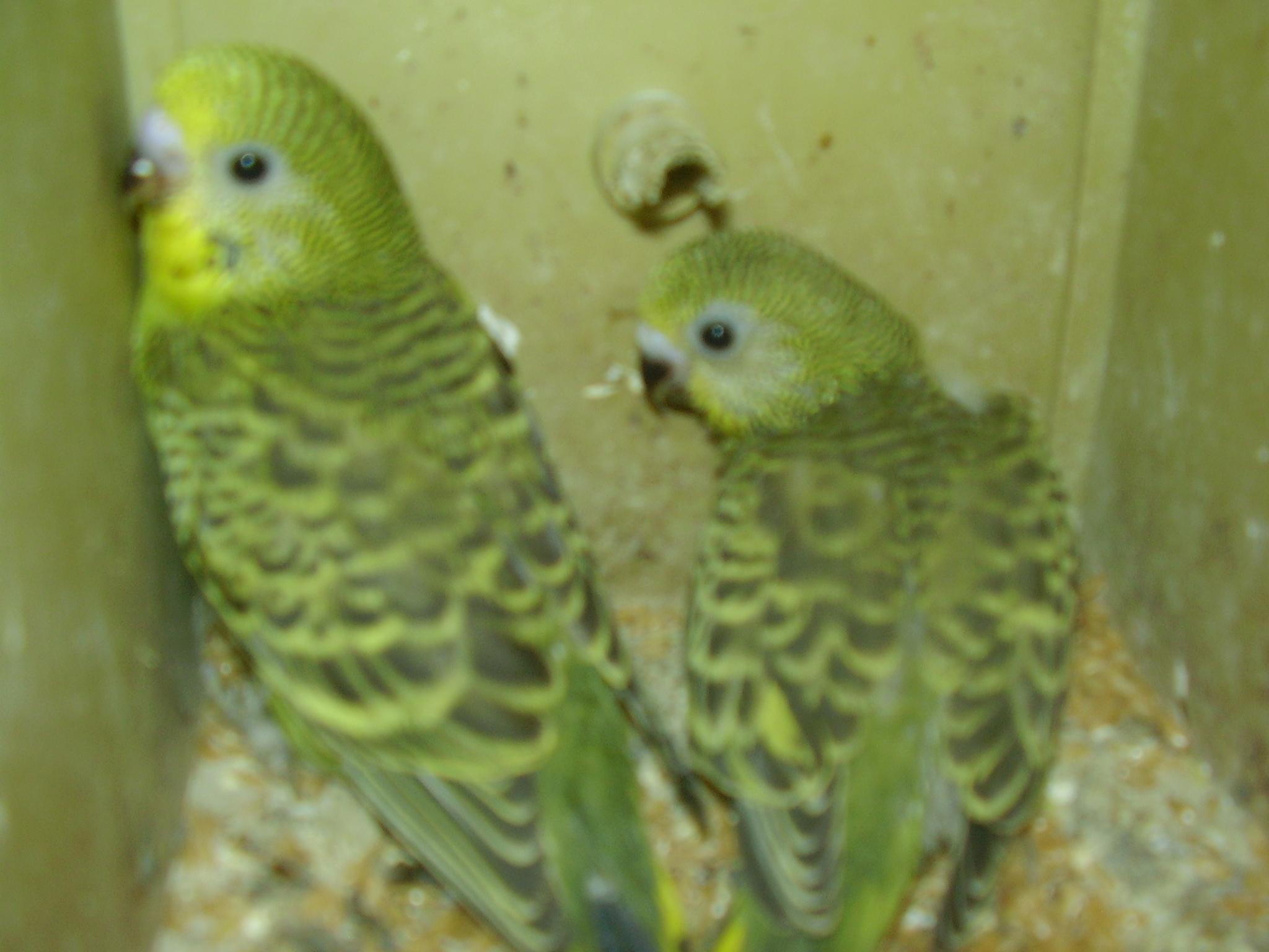my 2 new chicks