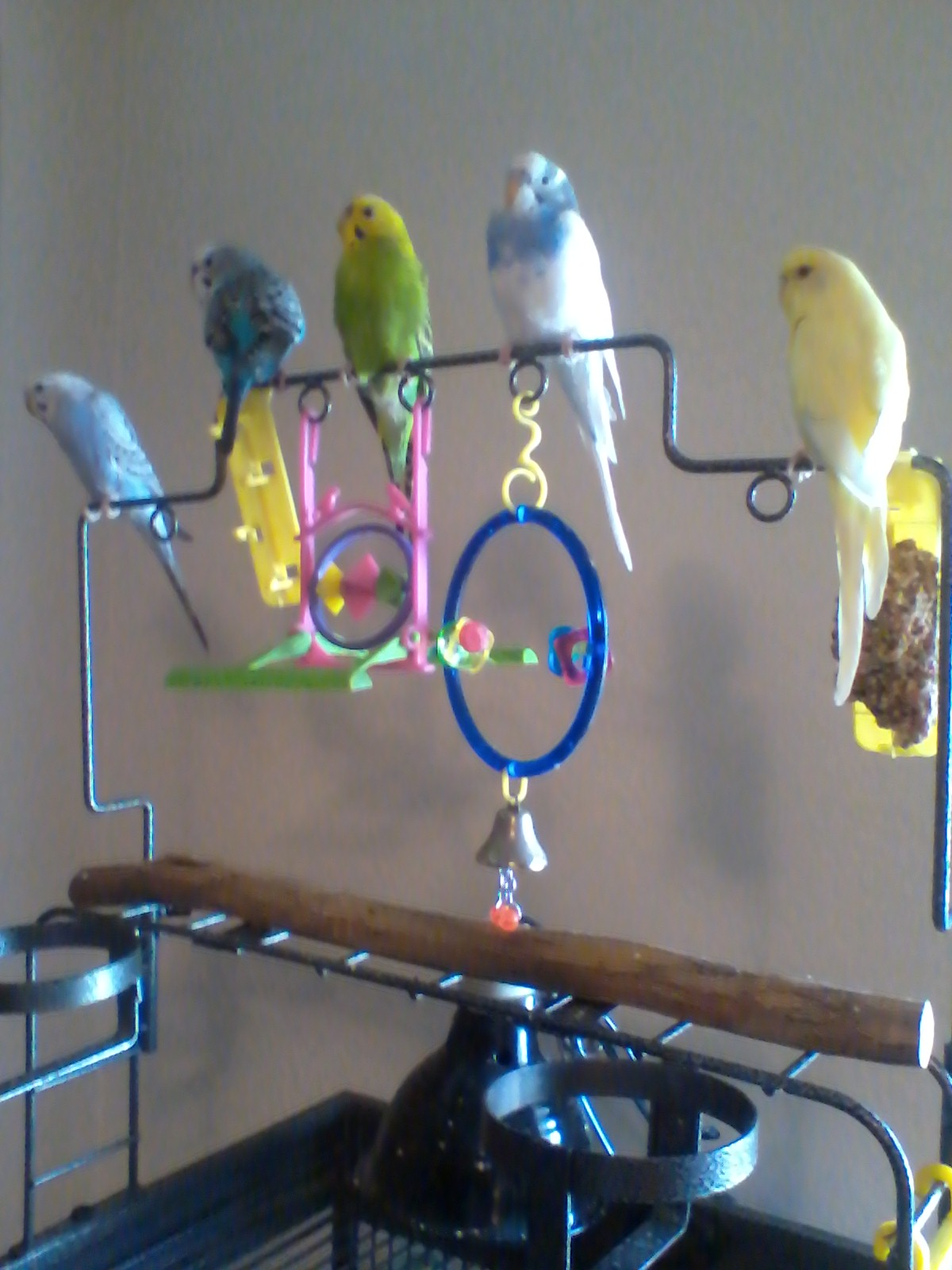 My 5 Budgies