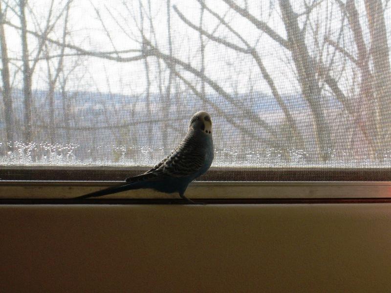 My Budgie, Birdie !