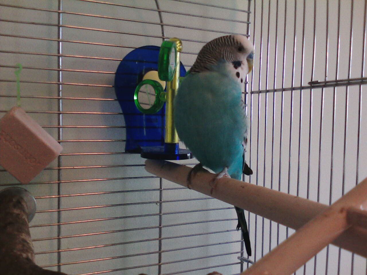 My budgie Cosmo