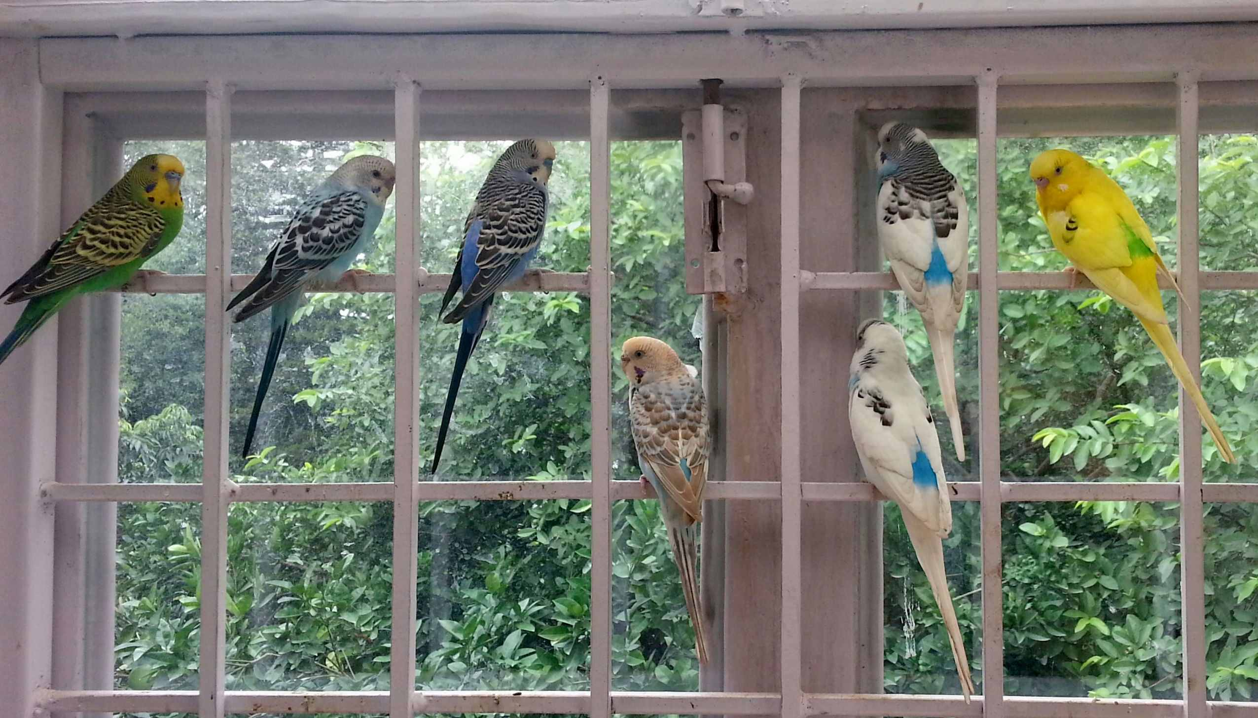 My budgies on a window grill
