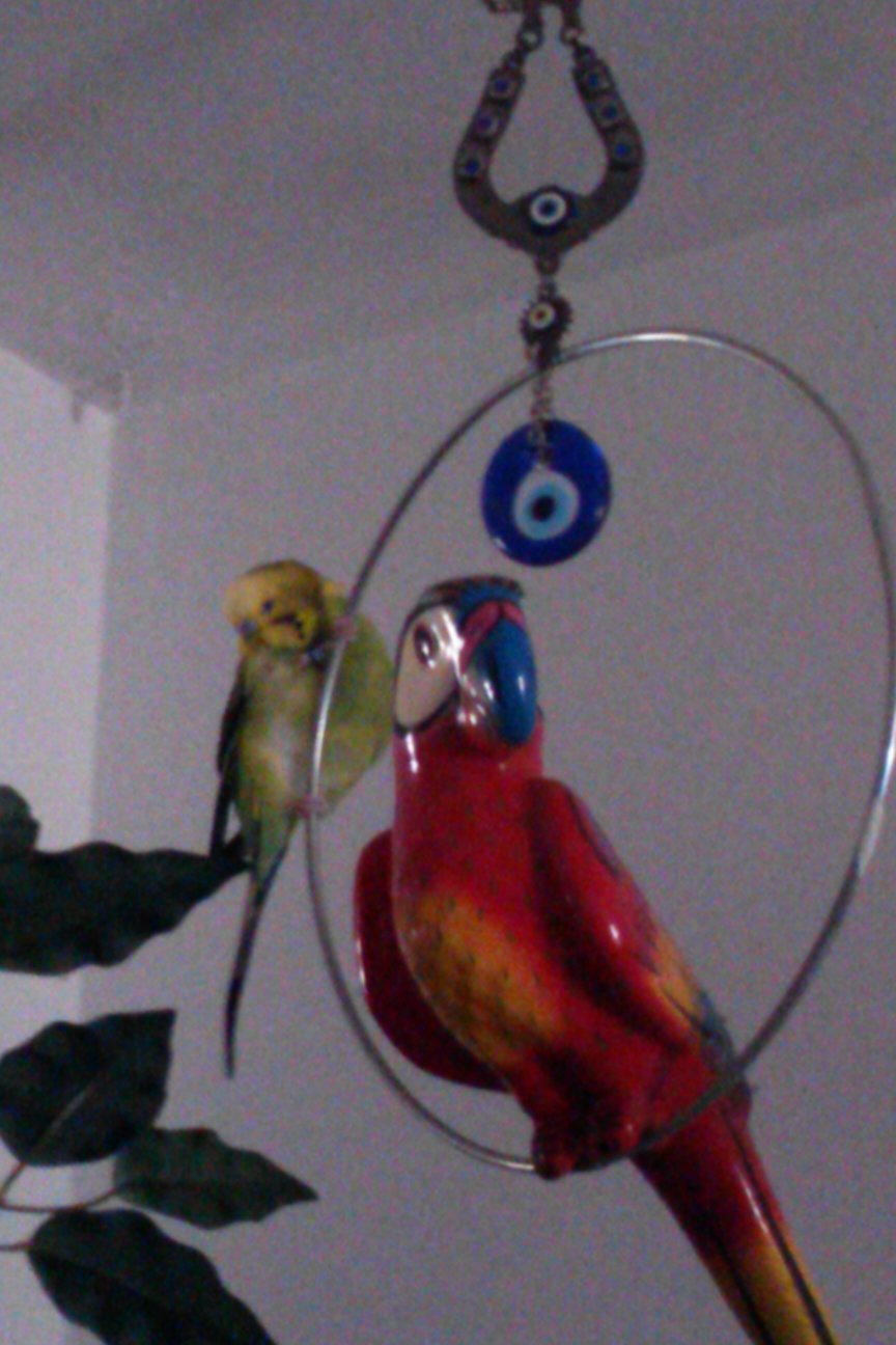 my budgies twitterer and Kirby