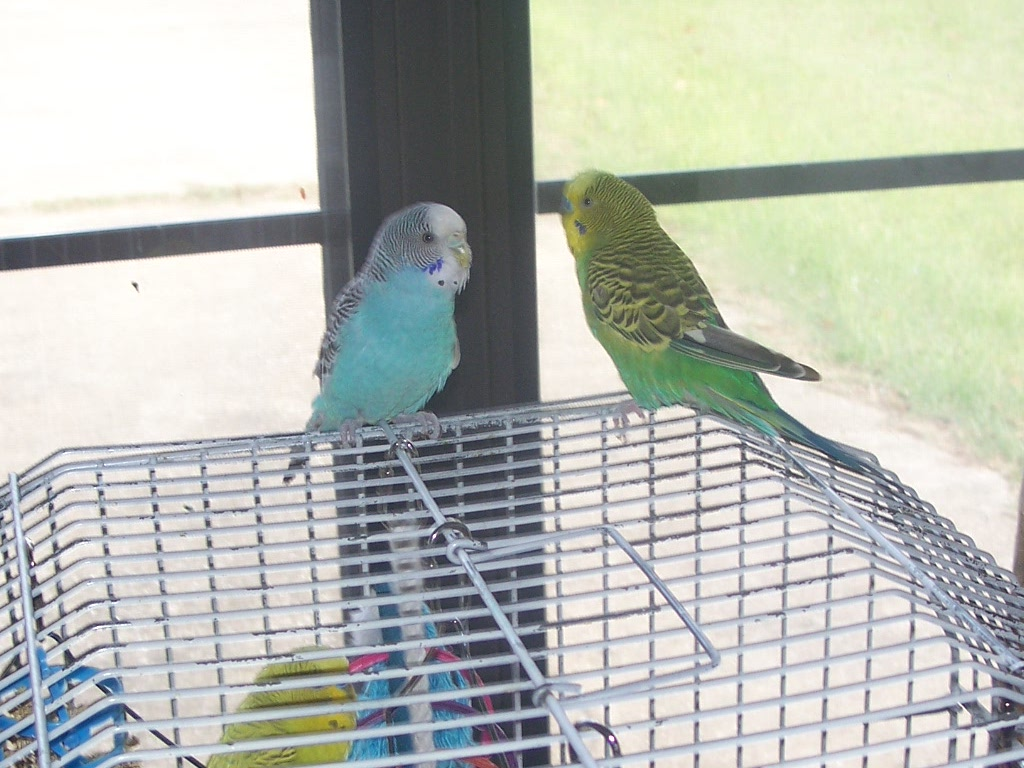 my budgies
