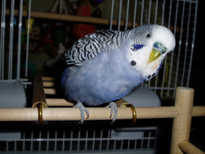 My first budgie Apollo