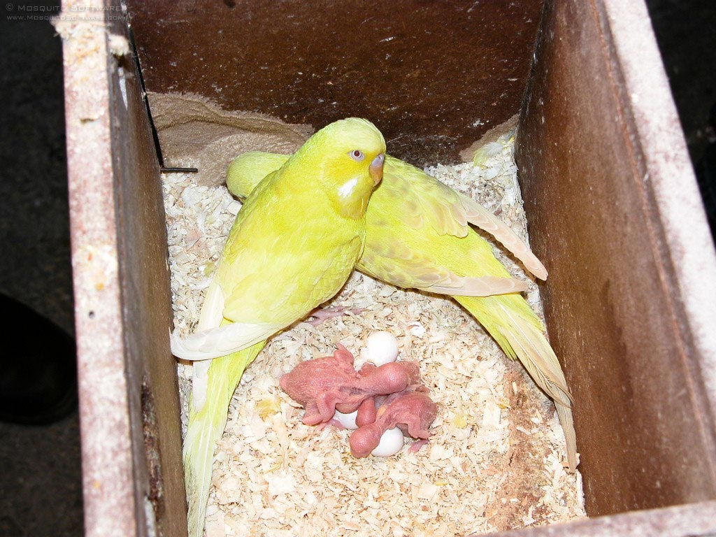 Nice baby nest budgies photo