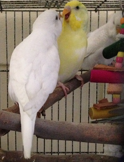 Our Sweet Budgies