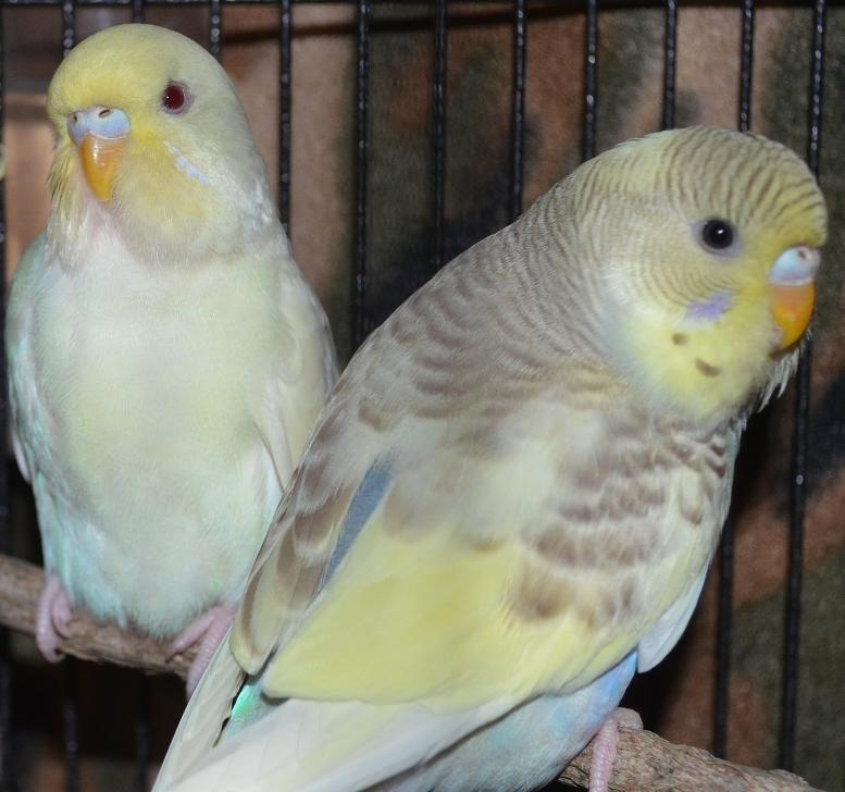 Our two new budgies