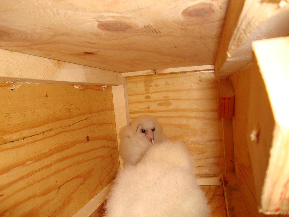 Owls in nest box