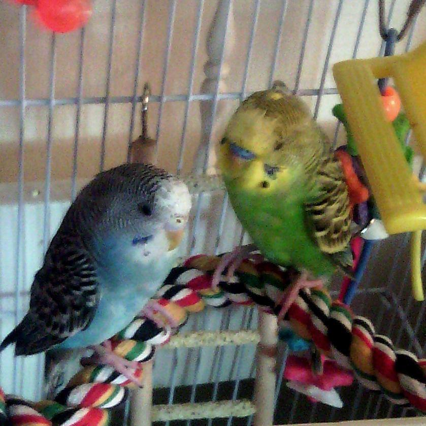 Parakeets/Budgies