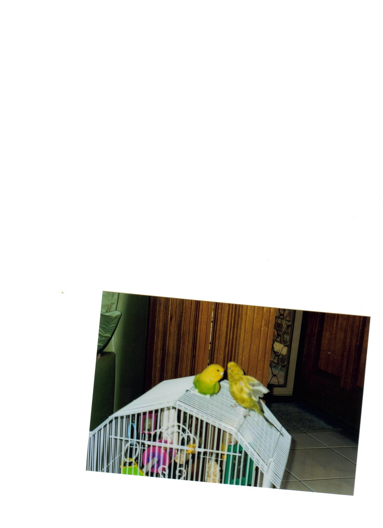 Paulie (my first budgie)