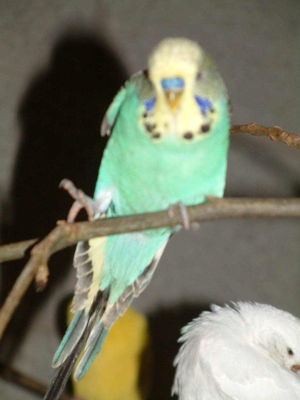Petes budgie