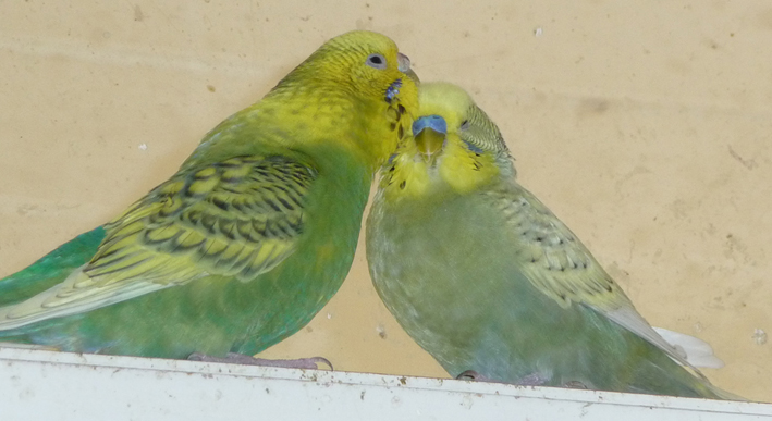 Some more of my budgies